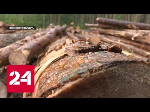 Поле с ценной древесиной: В Псковской области валят лес на землях сельхозназначения - Россия 24