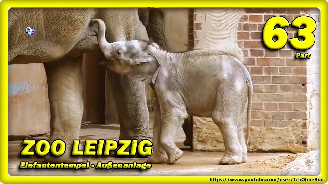 🔴 ZOO LEiPZiG • Baby Elefant Kiran, Rani, Don Chung & Voi Nam - зоопарк - слон - Animals