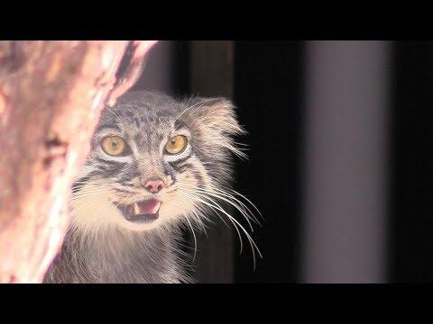 初めまして…グルーシャ(旭山動物園) - Pallas's cat 'Grousya'