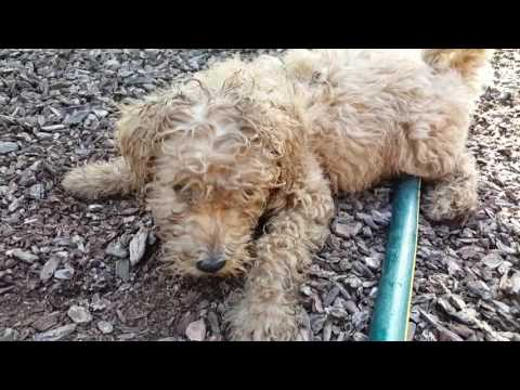 Mini Goldendoodle's first four months