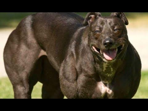 China Creates Genetically Modified Super Dog