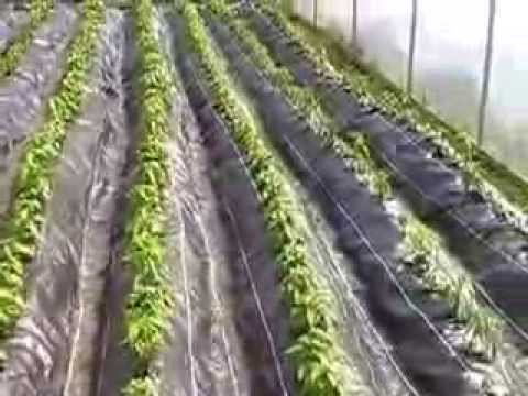 How to apply new technology in chilli plantation
