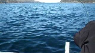 Mooching Alaska King Salmon Under Herring Ball Near Craig Alaska, Kingfisher Lodge