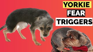 7 Yorkshire Terrier Fear Triggers !! What Are Yorkie Or Yorkie Terrier Scared Of ?