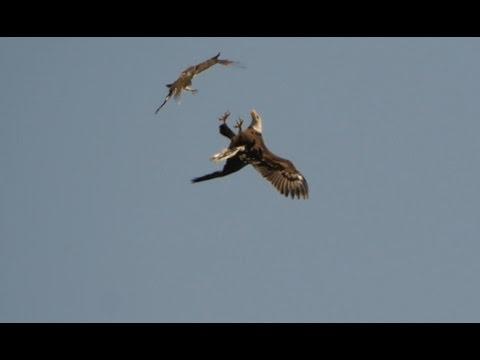 Bald Eagle - Red-tailed Hawk Air To Air, 3/30/2016 (HD)