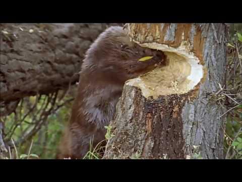 Как бобер грызет дерево видео
