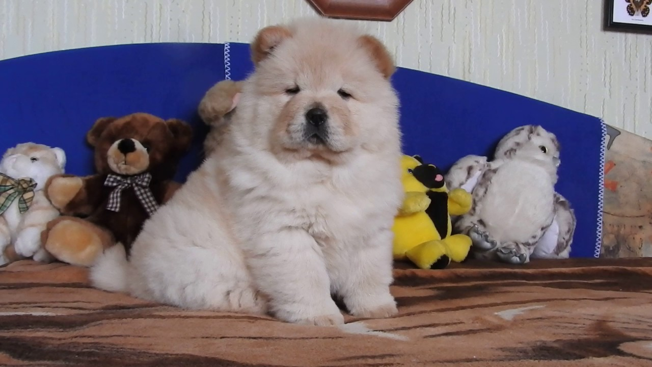 My sweet chow-chow puppy, Roxanne is 8 weeks old. - YouTube
