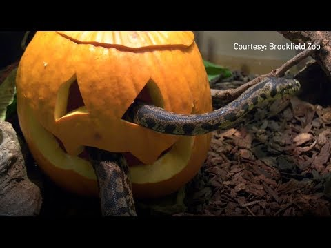 Several of the animals at Brookfield Zoo near Chicago enjoyed Halloween treats