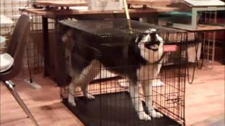 Husky Escape Artist