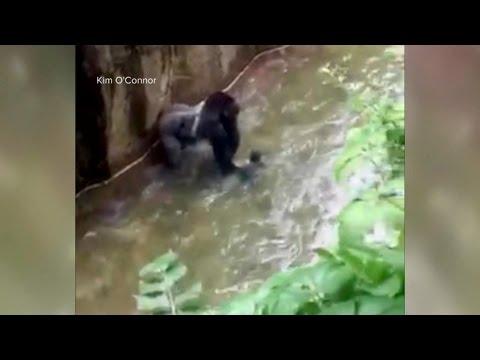 Baby Falls Into Zoo's Gorilla Cage