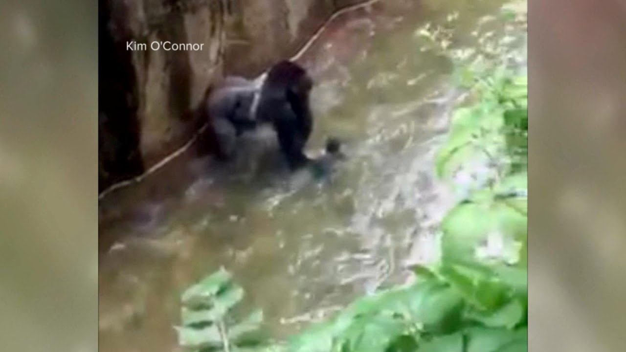 Baby Falls Into Zoo S Gorilla Cage Youtube