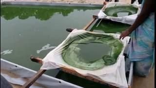 spirulina cultivation in ap