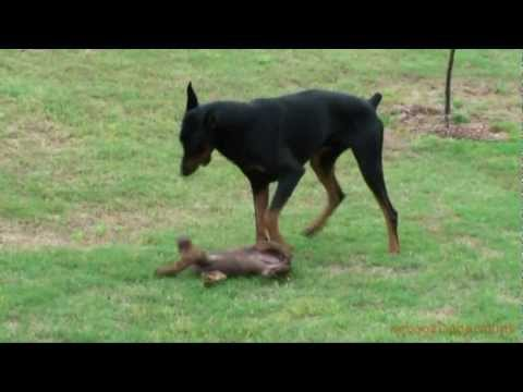Doberman Puppy Plays With The Big One