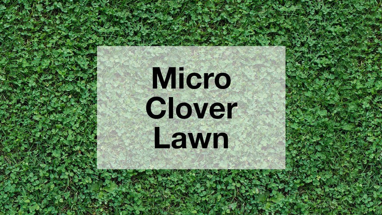 Grow A Micro Clover Lawn Youtube