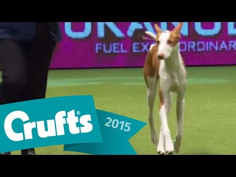 Saluki wins the Hound Group Judging | Crufts 2015