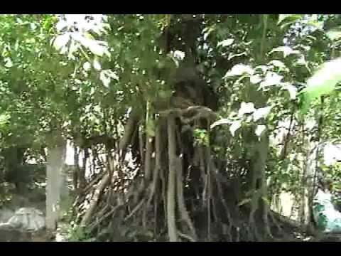 Cây  cảnh đẹp, cây sanh đẹp, cây sanh lâu năm Ngọc Quý  Video 3