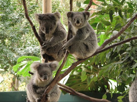 Visiting Animals in Koala Park Sanctuary | West Pennant Hills | Sydney | Australia 2015