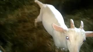 Comment faire une piqure a une chèvre
