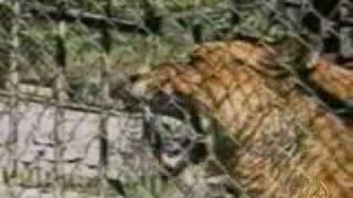 اسد مفترس يهرب من حديقة الحيوان الى الشارع  lion attack poeple