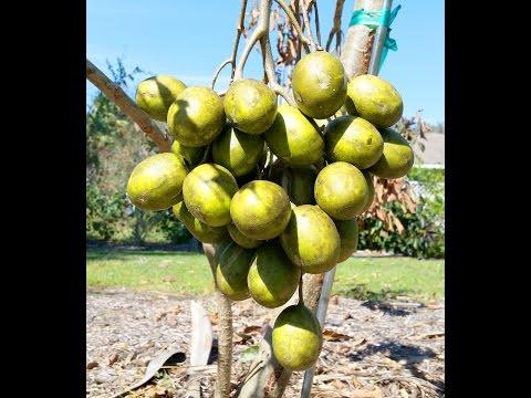 Ambarella - delicious June Plum