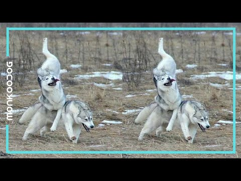 ZOOMIES! The Most Hilarious compilation of Dog Zoomies of 2019