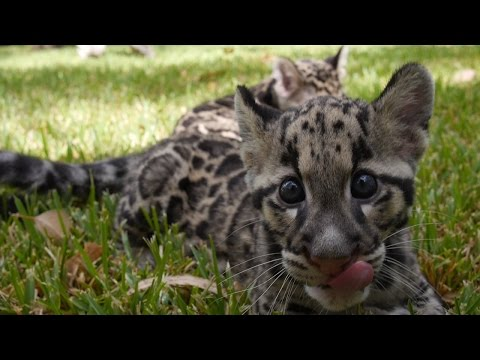 Baby Clouded Leopards - First Time Outside!