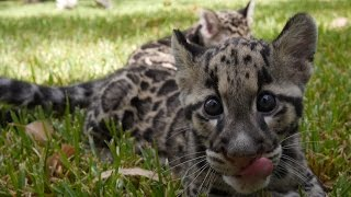 Baby Clouded Leopards - First Time Outside! thumbnail