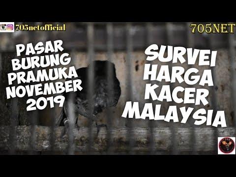Survei Kacer Malaysia Membanjiri Pasar Burung Indonesia
