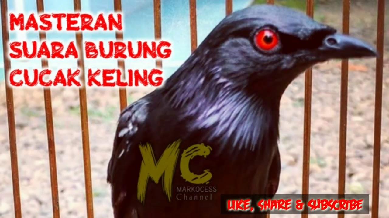 Suara Burung Cucak Keling Masteran Youtube