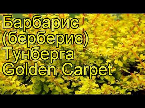 Барбарис тунберга Золотой ковер (голден карпет). Краткий обзор berberis thunbergii Golden Carpet