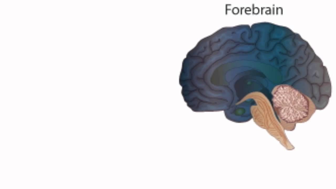 Anatomy Phsyiology Brain Structures Youtube