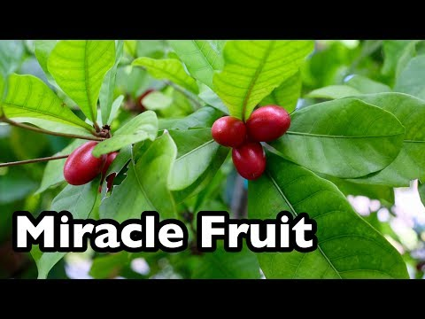 All About Miracle Fruit!