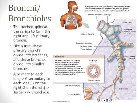 Respiratory System - Part 2