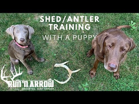 SHED/ANTLER DOG TRAINING WITH A PUPPY