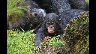 El bebé chimpancé COCO cumple 2 meses en BIOPARC Valencia (#ExperienciasBioparc)