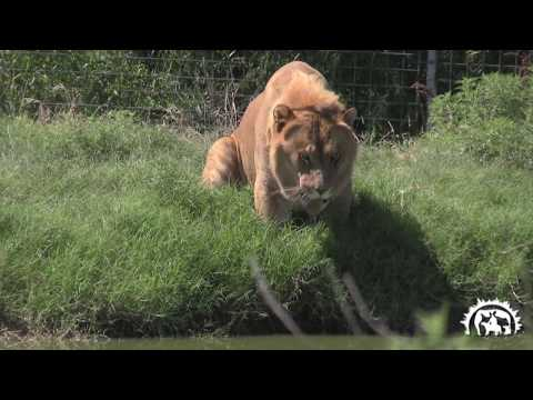 TATP Levi The Liger (the second largest cat in the world) and company