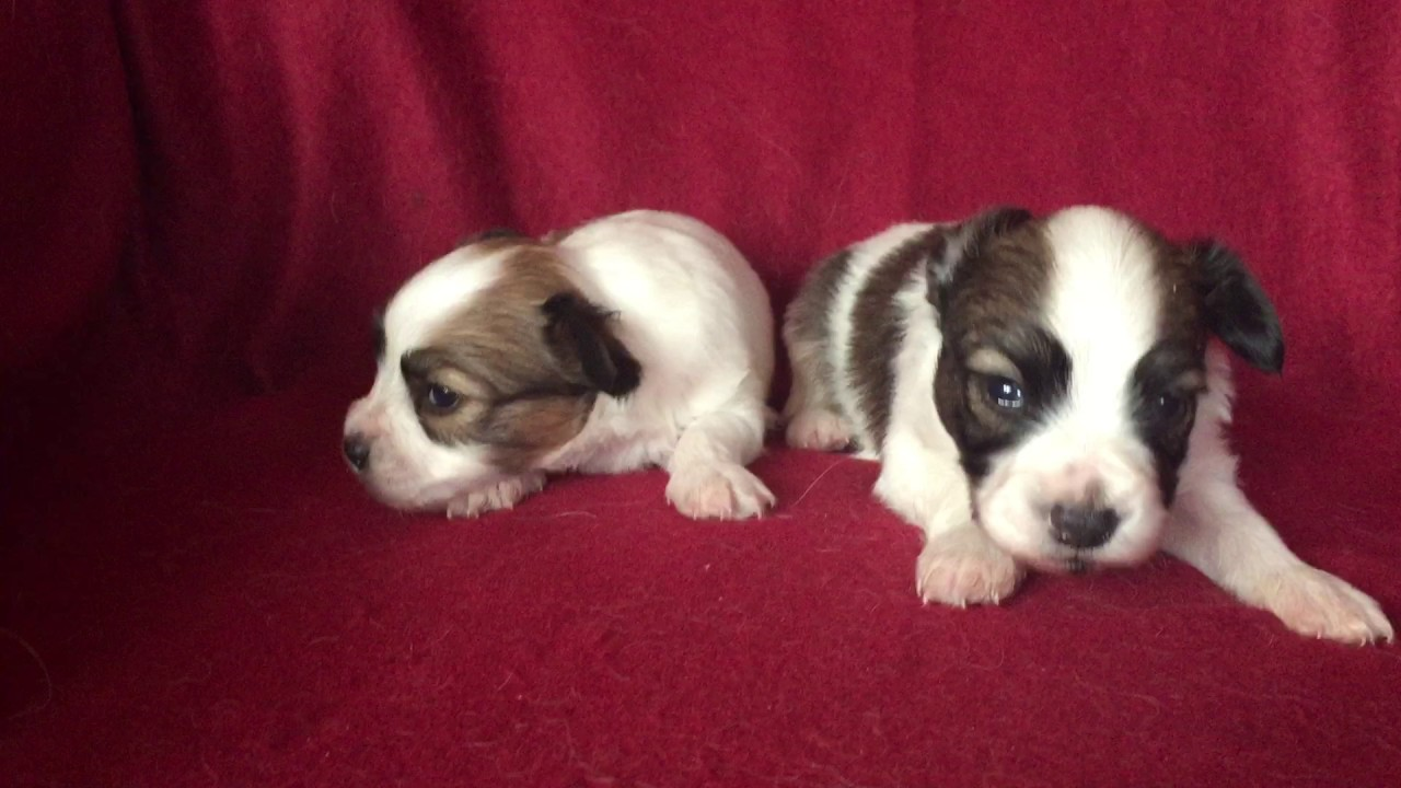 Papillon 1 Male 1 Female For Sale Euro Puppy Youtube