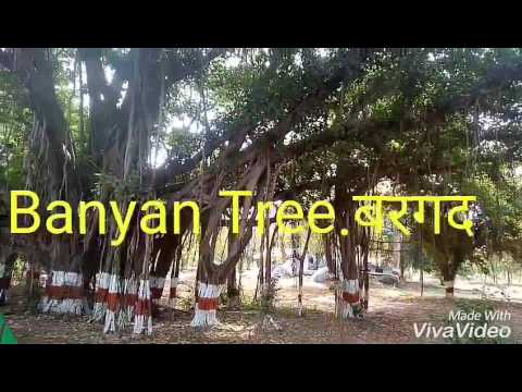 NO_29  Banyan tree/Ficus benghalensis.religious, scientific & medicinal value (Hindi/Urdu)बरगद.