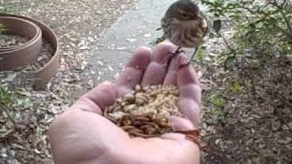 Feeding Birds By Hand (part 1)...warbler Yellow-rumped Kinglet Bird Warblers