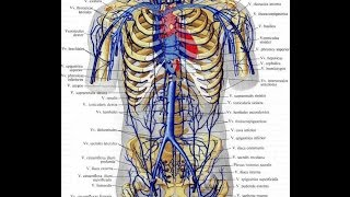 Движение крови по сосудам. Урок биологии.