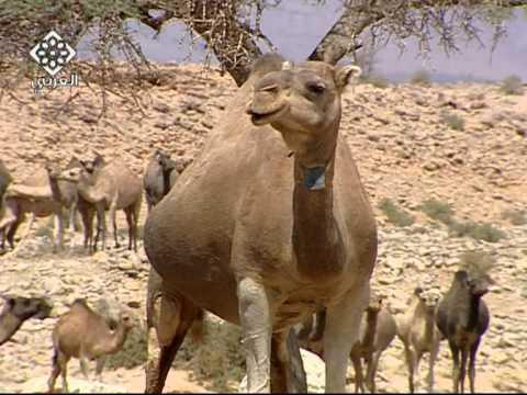 حياة البدو فى الصحراء المغربية-3