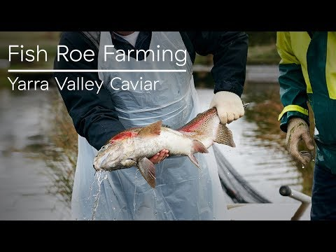 Fish Roe Farming At Yarra Valley Caviar