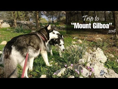 Two Huskies on a mountain | Trip to Mount Gilboa