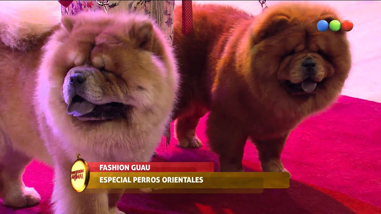 Fashion Guau, Laura Esquivel, Chow Chow – Diversión Animal