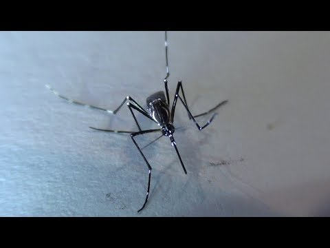 Aedes aegypti mosquitos características larvas y adultos - Characteristics larvae and adults