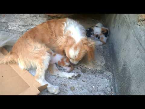 Dog breast feeding kittens