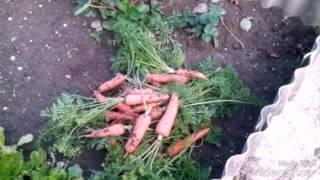 Морковь на зимнее хранение