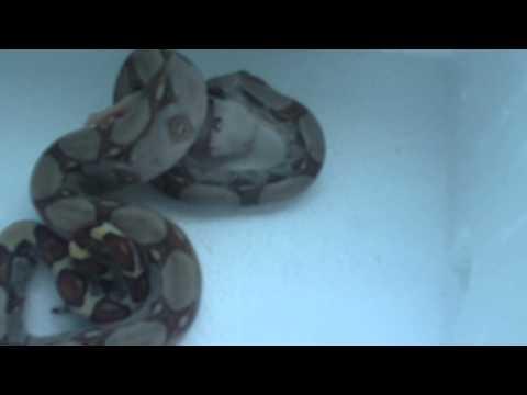 boa swallowing  rat pup step5