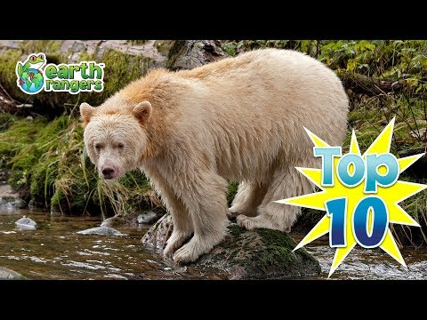 Top 10: Great Bear Rainforest Animal Facts