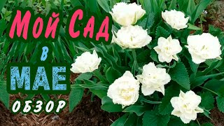 Мой ВЕСЕННИЙ САД. Тюльпаны,свежая яркая зелень хвойных.Обзор сада на 20 мая.